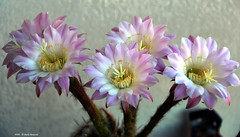 ER 160818 (21) (Paolo Bonassin) Tags: flowers cactaceae cactacee cactus succulente echinopsis