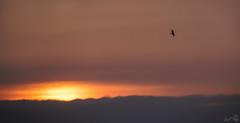 Chasing the sunset (Emmog) Tags: male marsh harrier starling starlings murmuration nature wildlife animals birds evening sunset
