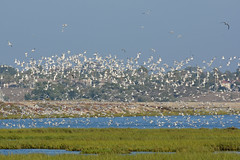 Hundreds of Terns flying over nesting area (linda m bell) Tags: bolsachica ecologicalreserve 2016 california wetlands socal birds birdwatching terns