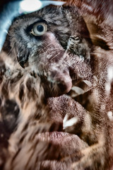 Anthropomorphism (pni) Tags: animal human face portrait bird plumage feather eye owl mouth nosemultiexposure multipleexposure tripleexposure j16 jakobstad pietarsaari finland suomi pekkanikrus skrubu pni