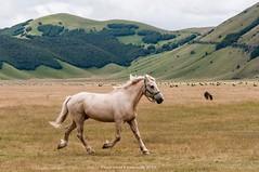 Castelluccio di Norcia (fcentur71) Tags: norcia umbria italia it campi fioriti cavalli