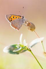 Soleil de cuivre (Florian Commaret) Tags: papillon butterfly bug bugs insecte insect printemps t automne summer sun nature lepidoptere lepidoptera