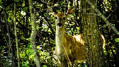 Assiniboine Park - September 14, 2016 15-40-54 (DerboPhoto) Tags: assiniboinepark deer doe beautiful 204 winnipeg manitoba canada derbophoto forest