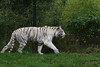 ZooParc Overloon (wimjee) Tags: dierentuin zoo zooparcoverloon overloon nikon d7200 wittetijger tijger