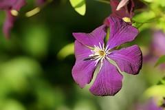 *** (pszcz9) Tags: polska poland przyroda nature natura kwiat flower zblienie closeup bokeh sony a77 beautifulearth
