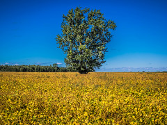 Solitude (Lise1011) Tags: arbres campagne champs fleurs ciel sky ngc trees flower yellow jaune bleu blue olympus olympusomd