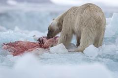 Polar Bear on a recent kill at Negribreen S24A0660 (grebberg) Tags: glacier spitsbergen svalbard july 2016 polarbear ursusmaritimus ursus bear mammal negribreen prey