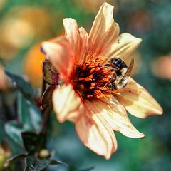 Longwood Gardens - Kennett Square, PA (oscarpetefan) Tags: d500 nikon nikkor 40mmf28macro longwoodgardens dcareaflowersafarimeetup kennettsquare pennsylvania flowers bees
