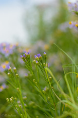 Strandaster (Aster tripolium) (MaikeJanina) Tags: strandaster natur naturfotografie pflanzen salzwiese strand makro bokeh meer ostfriesland nature flower lila
