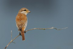 Red-backed Shrike (redmanian) Tags: redbacked shrike eat sussex butcher bird rare