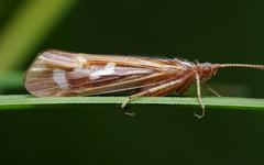 Caddisfly Profile (Doundounba) Tags: pentax k3 pentaxdfa100mmf28macro raynox dcr250 insect insecte bug lacbuvard km18 leperdreau parcnationaldelajacquescartier québec trichoptère trichoptera caddisfly topf25