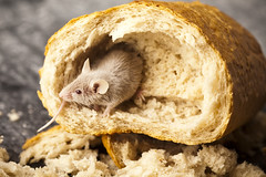 Pests Mice Rats Etc (British_Pest_Control_Association) Tags: breads bread loaf breadarrangement grains grain nature assorted ripe dry style wholesome eating meal sandwich healthy health wholewheatbread englishloaf animal background bait close cute dairy decoy domestic ear eat encouragement food funny furry head incentive inducement isolated listen look macro mice mouse pest pet rat rodent smell sniff poland