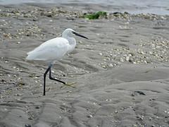 aigrette garzette (camaroem56) Tags: oiseaux marins marais eau