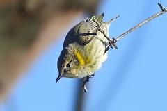 Cape May Warbler  (Bill7870) Tags: bird boundrycreekpark canon canon400mmf4do canon7dmk2 geotagged nature newjersey nj rancocascreek capemaywarbler warbler