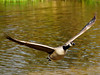 Canada...Here I Come (Oldt1mer - Keith) Tags: england water flying wings sony flight goose sthelens canadagoose merseyside carrmill a65 carrmilldam mygearandme mygearandmepremium mygearandmebronze mygearandmesilver mygearandmegold mygearandmeplatinum mygearandmediamond flickrstruereflection1 flickrstruereflection2 flickrstruereflection3 flickrstruereflection4 flickrstruereflection5 sonya65 slta65