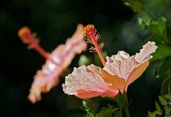 Hibiscus (Deb Jones1) Tags: flowers orange flower nature beauty canon garden botanical outdoors flora bokeh hibiscus blooms flickrawards debjones1