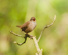 Wren On Song (1963chris) Tags: bird nature birds rural countryside spring nikon raw singing naturereserve perched wren britishwildlife smallbirds rspb gardenbirds leightonmoss britishbirds