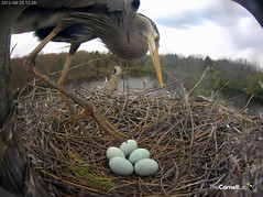 She seems to look closely at the eggs. (y.mclean) Tags: heron nest cornell ornithology greatblueheron sapsuckerwoods cornelllabofornithology