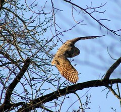 Great Horned Owl chasing geese (K Fletcher) Tags: canada calgary bird raptor alberta owl greathornedowl