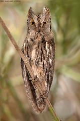 Scops Owl -      (arfromqatar) Tags: qatar birdsofqatar  arfromqatar canoneos1dmarkiv worldcup2022 scopsowl qatarworldcup2122 2022