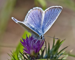 Mission blue (Plebejus icarioides missionensis) (kaeagles) Tags: california blue butterfly brisbane bugs lepidoptera sanbrunomountain