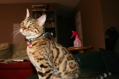 Pixel (r3v    cls) Tags: cat kitten pixel bengal