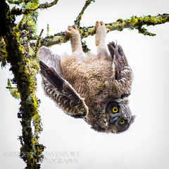 """Just hangin' 'round!"" - Explore May 2 (guitarman4) Tags: nature birds wildlife greathornedowl ridgefield owlet dennisdavenportphotographycom dennisdavenportphotography"