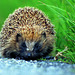 Hedgehog NottsWT (cpt Darin Smith)