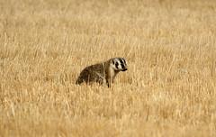 Badger (K Fletcher) Tags: eaglelakekf