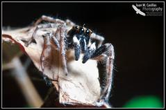 Araña Saltadora (Juan M Casillas) Tags: madrid macro insect spider iso200 wildlife araña jumpingspider leganés insecto f320 arañasaltadora speed1160 cameranikond300 focal1050mm35mm~1570mm lens1050mmf28 filenamedsc0519jpg