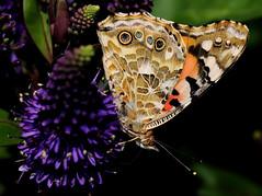 CYNTHIA CARDUI (Andreu Anguera) Tags: barcelona butterfly catalunya mariposas rosaleda cynthiacardui papallones roserar bolboretas andreuanguera parcdecervantes