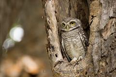 Little Owl (bokeh)