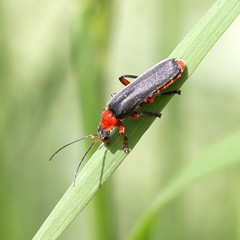soldier beetle (bugman11) Tags: macro nature animal animals fauna canon bug insect soldier niceshot beetle nederland thenetherlands insects bugs beetles 1001nights flickraward platinumheartaward 100mm28lmacro 1001nightsmagiccity mygearandme mygearandmepremium mygearandmebronze mygearandmesilver allnaturesparadise