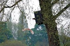 Brandon Marsh Birds (thesetter) Tags: owl warwickshire barnowl tytoalba brandonmarsh warwickshirewildlifetrust