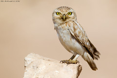The little Ghost . . .  !!! (arfromqatar) Tags: littleowl birdsofqatar  arfromqatar  qatar2022fifaworldcup abdulrahmanalkhulaifi