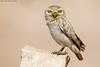 The little Ghost . . .  !!! (arfromqatar) Tags: littleowl birdsofqatar عبدالرحمنالخليفي arfromqatar طيورقطر qatar2022fifaworldcup abdulrahmanalkhulaifi البيئهالقطرية