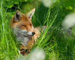 _W9H3073 (asbimages.co.uk) Tags: uk red cute nature animal wildlife fox foxes redfox vulpesvulpes vulpes