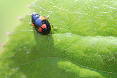 IMG_1764 (MUMU.09) Tags: insectos nature insect photo foto ladybug bild insekt ong  insetto joaninha imagem  coccinelle   mariquita  coccinella        uur marienkf  bcei   cai          canoneosrebelt2i     parcdebercyparis canoneos550d