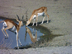 Tal Chhapar Wildlife Sanctuary- a pair of blackbuck at tal chhapar