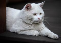 Focussed ... (AnyMotion) Tags: pet cats white blanco nature animals garden tiere chat terrace terrasse stranger gato felino visitor blanc garten katzen whitecat kater matou besucher 2012 eisbär félin anymotion icecat canoneos5dmarkii 5d2