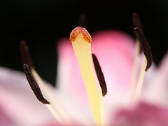 Detail of a Lily (donsutherland1) Tags: flowers ny newyork lily blossoms style stamen bloom soe stigma filament anthem mamaroneck carpel thegalaxy abigfave flickraward flowersarebeautiful allxpressus macromarvels awesomeblossoms crazygeniuses fleursetpaysages mygearandme mygearandmepremium allnaturesparadise