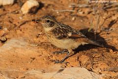 Stonechat (Mall0rca) (gcampbellphoto) Tags: bird nature spain wildlife mallorca stonechat passerine sacoma puntadenamer gcampbellphotocouk