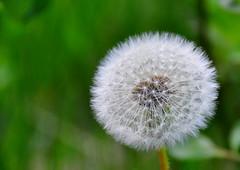 Dandelion (Terje Hheim (thaheim)) Tags: horizontal outdoors nikon dandelion petal growth pollen freshness lvetann d90 fragility 18200mmf3556gvr focusonforeground nopeople closeup singleflower