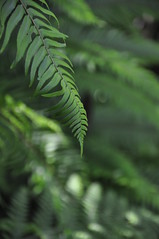 Ferns (James Matuszak) Tags: green bokeh ferns 2012 mendocinocounty