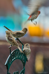 6M3C5981 (invertalon) Tags: birds canon lens backyard colorful bokeh tc l 5d teleconverter 70200mm markiii 5d3 5dmarkiii 70200ii 5diii stevenfranczek 2xiii stevefranczek