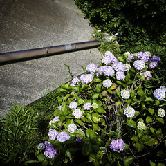 Concrete Slab, Drainage Pipe, Hydrangeas Hillside (jacob schere [in the 03 strategically planning]) Tags: shadow portrait flower japan digital self square concrete tokyo blossom jacob 4 hill pipe cement communication chiba bloom flowering intersection gr hydrangea blossoming bud hillside lucid iv ricoh hydrangeas budding slab drainage blooming fortified shadowself narashino m2c schere リコー dgr pipr mimomi jacobschere lucidcommunication