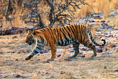 Machli (T-16), female Bengal Tiger (Panthera tigris tigris) (Hoppy1951) Tags: india female adult tiger tigress animalia mammalia rajasthan t16 bengaltiger ranthambhore panthera pantheratigris carnivora felidae chordata naturetrek ranthamborenationalpark ranthambhorenationalpark pantheratigristigris machli taxonomy:kingdom=animalia taxonomy:class=mammalia taxonomy:phylum=chordata taxonomy:binomial=pantheratigris taxonomy:order=carnivora taxonomy:genus=panthera taxonomy:species=tigris taxonomy:family=felidae taxonomy:common=bengaltiger taxonomy:trinomial=pantheratigristigris justtigersextension allanhopkins inaturalist:observation=105978