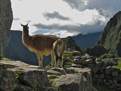 Stopping for a lunch break (larken81) Tags: flowers plants mountains peru southamerica birds inca architecture landscape ancient scenery historic unescoworldheritagesite machupicchu marvel lizards llamas