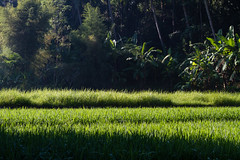 Bali. Early morning in the rice fields at Sayan. (Markus Hill) Tags: morning travel bali sun sunlight tree nature field forest sunrise canon indonesia asia asien rice paddy sayan sonnenaufgang morgen indonesien reisfeld ubud 2012