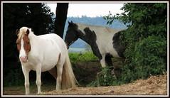 chaleur animale (fidber) Tags: nature cheval amour vosges btes ruralit saintois marainville